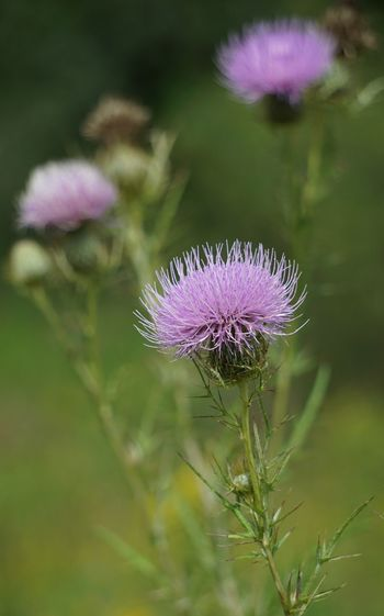 Have a great weekend! Great Weekend My Friends Showcase September EyeEm Best Shots - Nature Nature Lover EyeEm Best Shots Flowers Of EyeEm Close-up Thistle Flower Head Outdoors Beauty In Nature Unedited The Purist Pure Michigan Showcase September