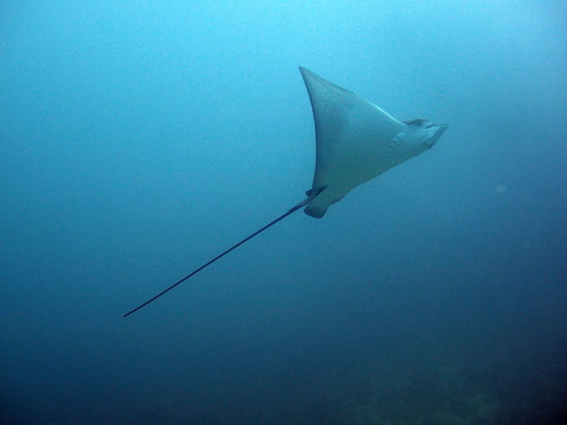 Eagleray at the Galapagos Islands Animal Themes Animals In The Wild Eagleray Fish Nature No People One Animal Outdoors Sea Sea Life Stingray Swimming UnderSea Underwater Water