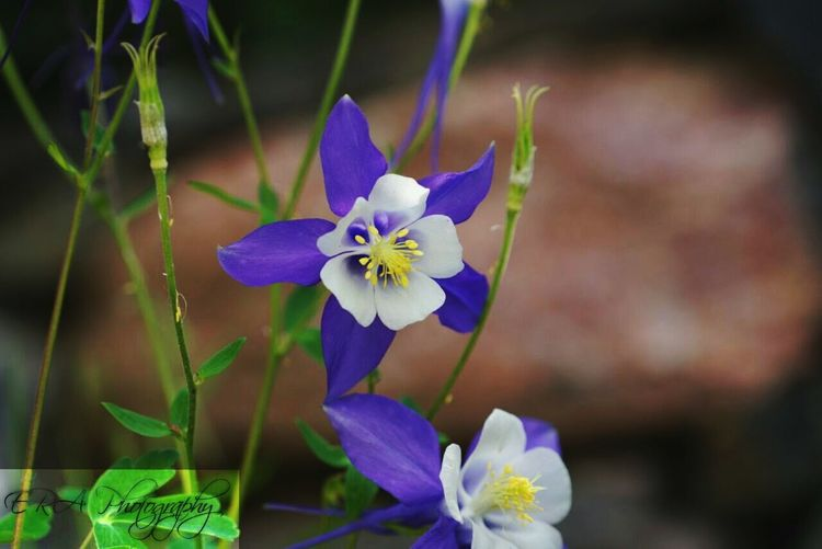 Flower Purple Nature Beauty In Nature Freshness Fragility Flower Head Outdoors Day No People Plant Beauty In Nature Flowers Nature Columbine Flower Colourful Colorado Coloradoflower