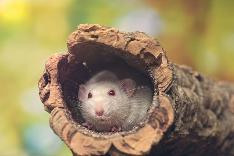 Close-up of white mouse in tree trunk