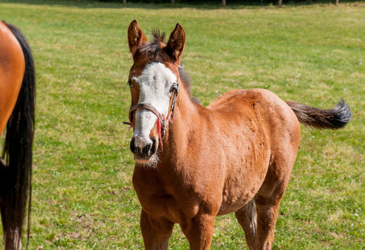 English Thoroughbred foal horse on the field. Mammal Domestic Animals Animal Domestic Pets Land Horse Vertebrate Animal Wildlife Brown Nature No People Day Outdoors Herbivorous Field One Animal Animal Head  Ranch English Thoroughbred Agriculture English Thoroughbred Nature Equine Foal
