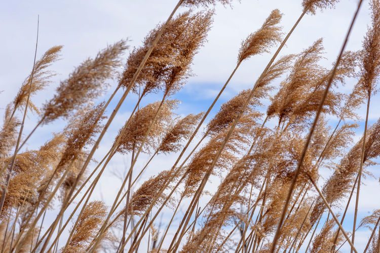 Low angle view of tall grass against sky