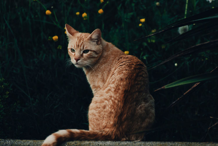 Domestic Animals Animal Themes One Animal Pets Grass Outdoors Day No People Feline Red Nature Animal Photography Domestic Cat Love Cats Photo Of The Day Picture Of The Day Tranquil Scene My Friend Followme Portrait Animal Portrait Red Cat Garfield The Great Outdoors - 2017 EyeEm Awards The Great Outdoors - 2017 EyeEm Awards