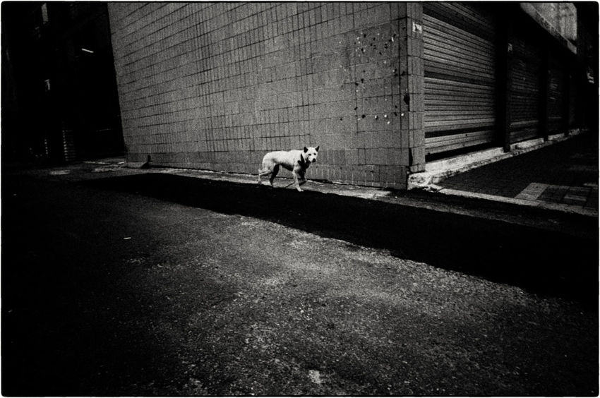 I saw this dog leaving my apartment. It had broken off its leash which was trailing behind. I had a Ricoh compact on the car seat. I still remember seeing the negative for the first time. ASIA Documentary Photography EyeEm Korea EyeEm Ready   EyeEmNewHere Korea Seoul Seoul, Korea Buyfilmnotmegapixels Dog Filmisnotdead Jtinseoul Kodak Tmax 400 Lensculture Shootfilm Street Photography Streetphoto_bw Streetphotography The Week On EyeEm Editor's Picks