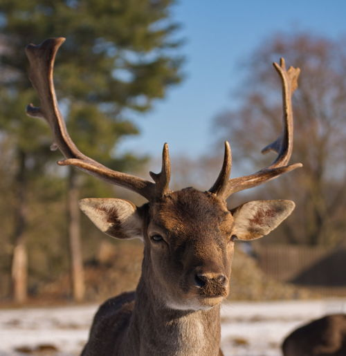 One Animal Antler Animals In The Wild Animal Wildlife Animal Body Part Horned No People Outdoors Tree Stag Nature Animal Themes Portrait Deer Close-up Day Mammal