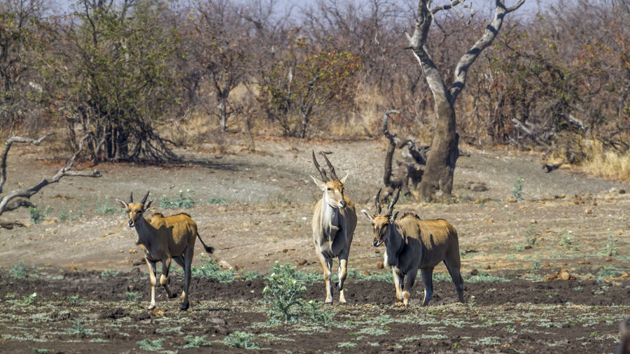 Antelopes walking on land against trees in forest