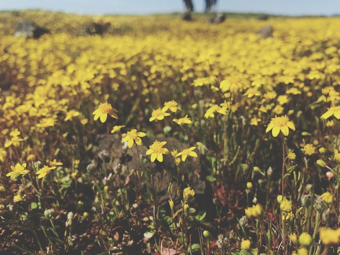 Spent the day amongst wildflowers 🌼🌸 Flower Plant Flowering Plant Yellow Growth Beauty In Nature Field Vulnerability  Landscape Petal Tranquil Scene Day Focus On Foreground Freshness Tranquility Nature Land Close-up Fragility Flower Head