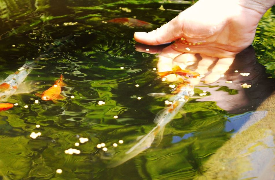 Carp Close-up Day Feeding Animals Garden Lake Human Body Part Human Hand Koi Fish Leaf Lifestyles Low Section Nature One Person Outdoors People Plant Real People Trained Animals Tree Water Women