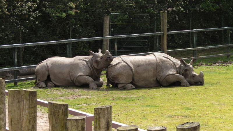 Black Rhino Chester Zoo Chesterzoo Day Grass Mammal Nature No People Outdoors Rhino Rhinos Zoo
