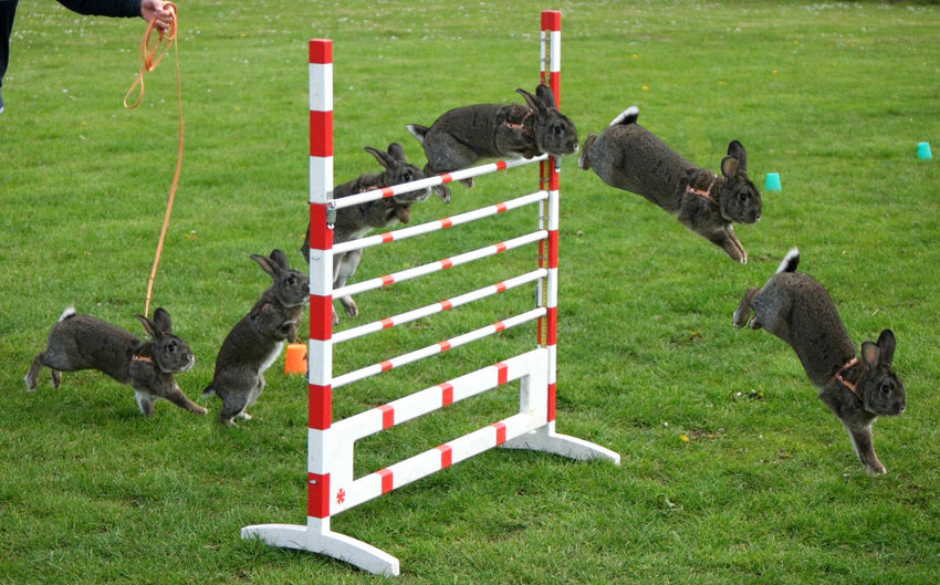 Rabbits Jumping Over Hurdle On Grassy Field
