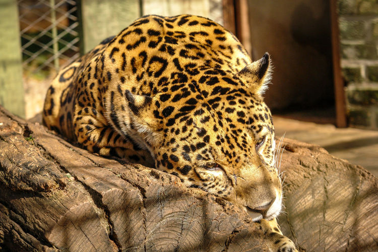 Animal Themes Animal One Animal Mammal Animal Wildlife Animals In The Wild Vertebrate Big Cat Focus On Foreground Feline No People Relaxation Day Animals In Captivity Zoo Carnivora Animal Markings Close-up Cat Nature Outdoors Whisker JAGUAR Jaguarete Panther