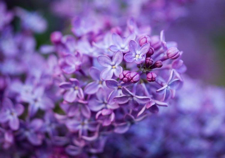 Lilacs Flower Summer Nature