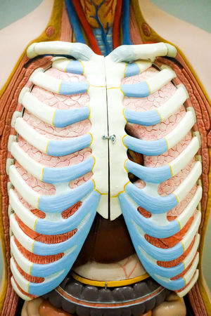 Human respiratory system anatomy Body & Fitness Liver Science Skeleton Abstract Air Anatomical Anatomy Biology Close-up Diafragma Education Exhale Human Body Part Inhale Inside Lung Medical Muscle Organ People Respiration Respiratory System Transplant