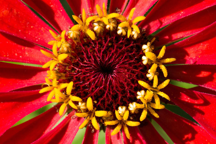 Nature Nature Photography Zinnia  Beauty In Nature Flower Flowers Nature Patterns Plant Red