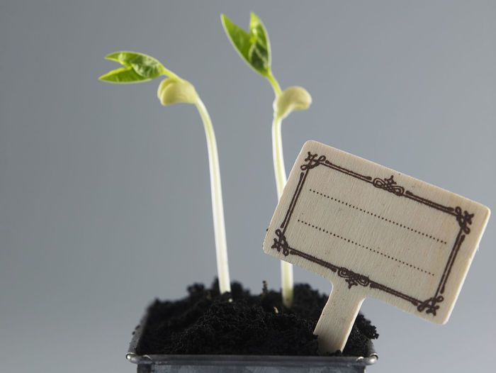 Growing plant in soil isolated on gray background. Flowering Plant Growing Nature New Life Sapling Bean Beauty In Nature Beginnings Close-up Development Freshness Growth Label Leaf Nature No People Plant Plant Part Plantation Potted Plant Progress Seedling Small Still Life Studio Shot