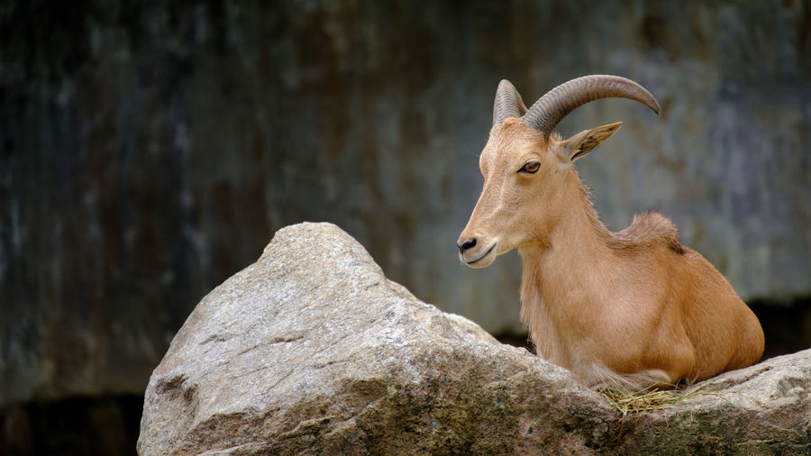 Brown goat lying on the rock. Animal Themes Animals In The Wild Close-up Day Focus On Foreground Mammal Nature No People One Animal Outdoors Rock - Object