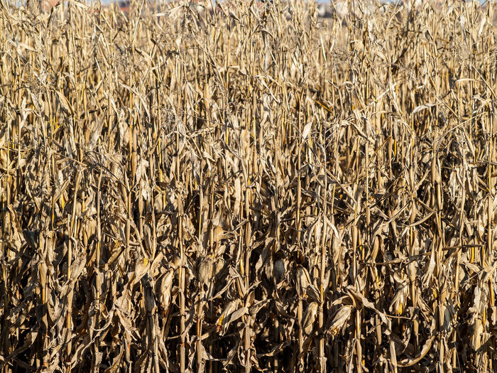 Agriculture Background Background Texture Backgrounds Cereal Plant Close-up Corn Cornfield Crop  Day Dry Corn Full Frame Natural Nature No People Organic Organic Textures Outdoors Plant Surface Texture Texture And Surfaces Texture_collection Textures And Surfaces