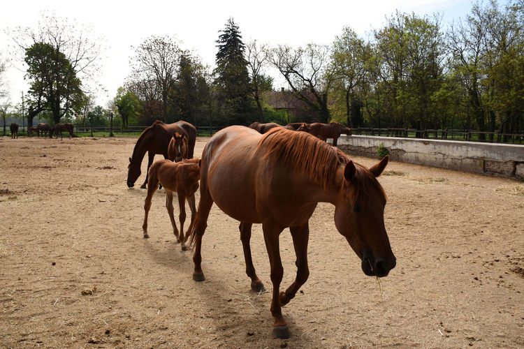 Beautiful hungarian gidran foal is continuously following her mother