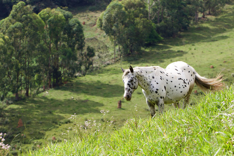 Spotted horse pasturing on lush foliage Dalmatian Horse Farm Farm Life Farmland Field Pasture Rural Rural Scenes Santos Dumont Spotted Animal Animal Themes Domestic Domestic Animals Equine Grass Horse Horse Photography  Land Landscape Nature Pets Rural Scene Spotted Spotted Horse