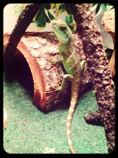 love this kid!! Lizard Love Mylizard Reptile Taking Photos