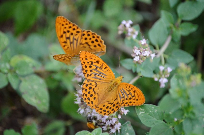 😍 Flower Flower Head Perching Butterfly - Insect Full Length Insect Spread Wings Leaf Animal Themes Close-up Animal Wing Butterfly Pollination Flapping Inflorescence