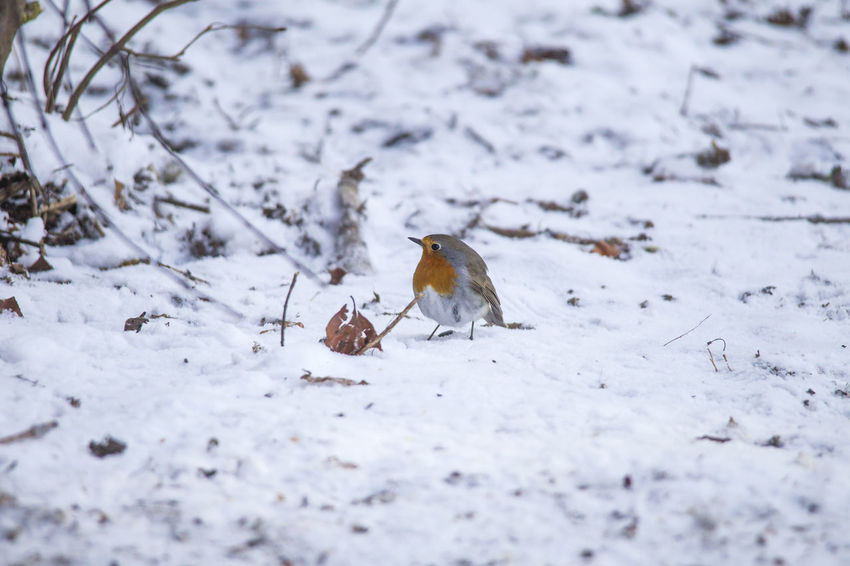 male robin in courtship plumage sits in the snow Animal Themes Animals In The Wild Bird Close-up Cold Temperature Day Nature No People One Animal Outdoors Perching Snow Winter