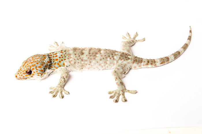 Gacko isolated on white background Gacko Animal Animal Body Part Animal Scale Animal Themes Animal Wildlife Animals In The Wild Close-up Copy Space Cut Out Full Length Gacko Indoors  Lizard No People One Animal Reptile Side View Studio Shot Tail Vertebrate White Background Zoology