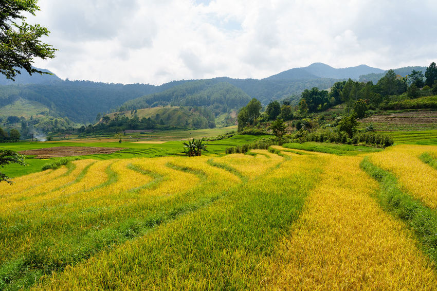 Ready to harvest rice field INDONESIA Lake Toba Sumatra  Agriculture Beauty In Nature Cloud - Sky Crop  Day Farm Field Growth Landscape Mountain Range Nature No People Outdoors Parapat Rice - Cereal Plant Rice Paddy Rural Scene Scenics Simalungun Sky Terraced Field Tranquil Scene