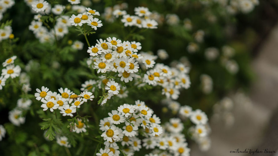 Close-up of fresh white yellow flowers blooming outdoors