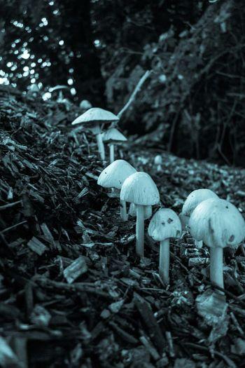 Fungi line up Mushrooms Cyanotype