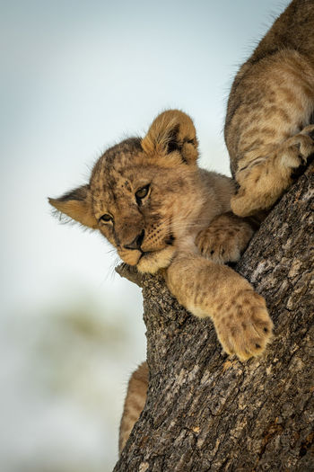 Low angle view of cubs resting on tree trunk