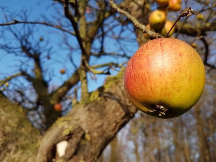 Vitamin C Vitamin Apple Appletree Apple - Fruit Fruit Tree Fruit Photography Freshness Saison Season  Tree Branch Fruit Hanging Mediterranean Food Close-up Food And Drink Sky Fruit Tree Apple Blossom Apple Tree Ripe Unripe Apple
