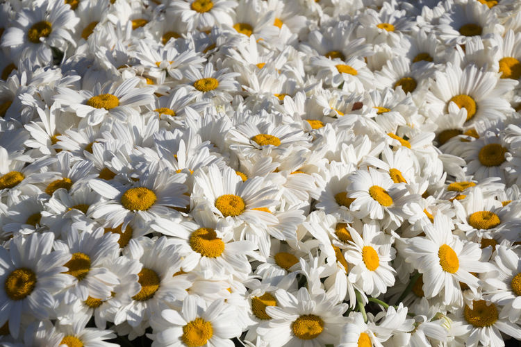 Marguerites in