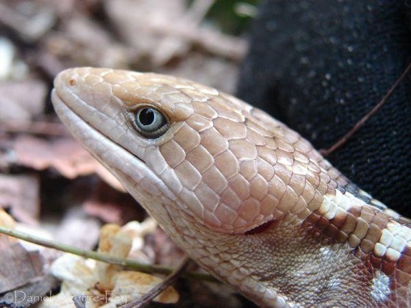 Gerrhonotus Detail Reptile Chamela