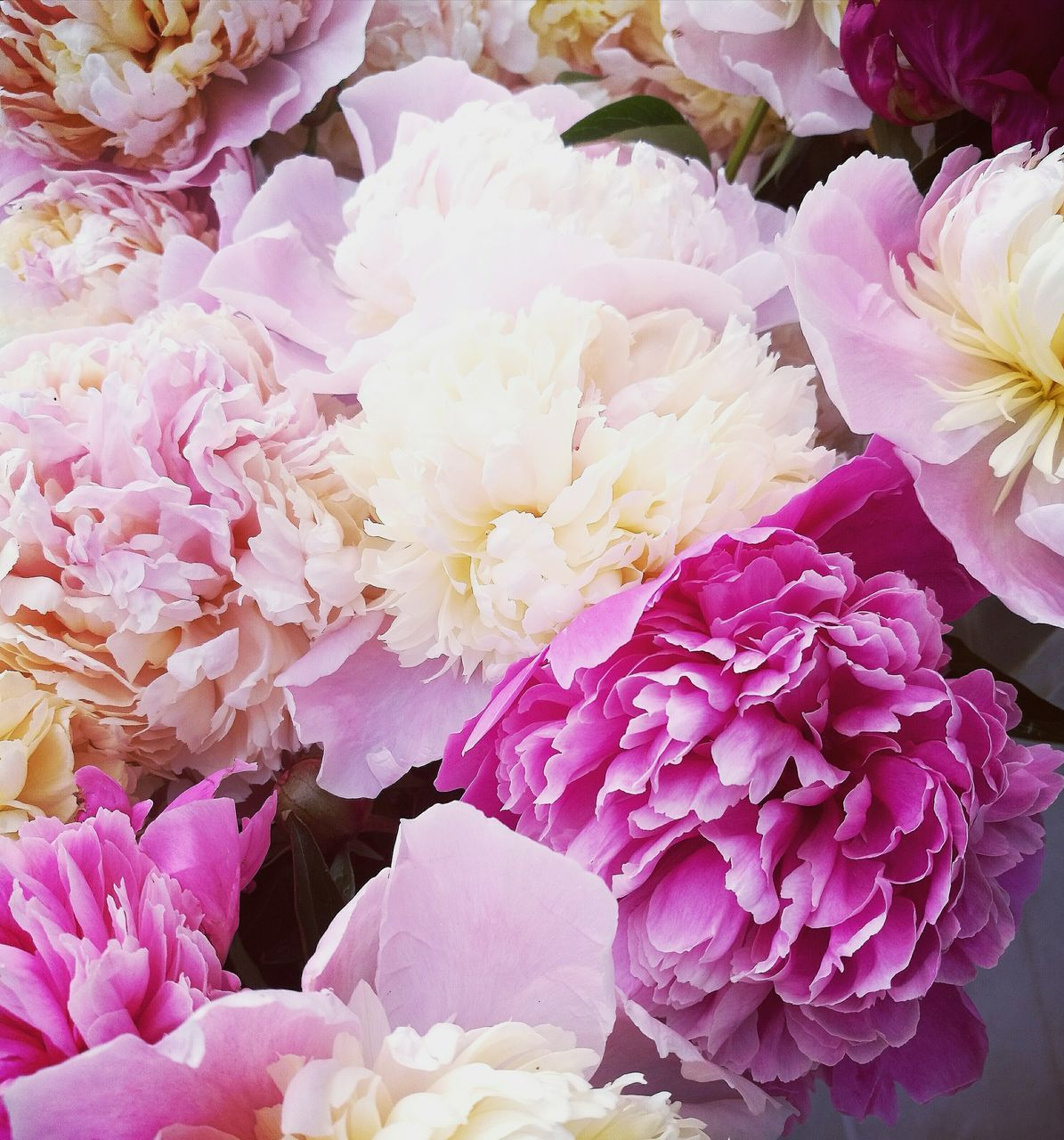 flower, fragility, petal, beauty in nature, flower head, nature, freshness, no people, pink color, close-up, day, growth, springtime, bouquet, outdoors, peony