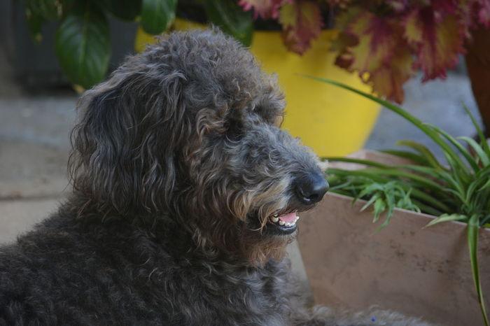 Shepadoodle dog Dog Canine Shepadoodle Hybrid Dog Mixed Breed Mixed Breed Dog Animal Head  EyeEm Selects Dog Pets One Animal Domestic Animals Mammal Outdoors Portrait Animal Themes No People Close-up Protruding