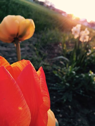 Flower Nature Plant Petal Growth Beauty In Nature Orange Color Flower Head Red Outdoors Close-up Focus On Foreground No People Fragility Freshness Blooming Day Sunset First Eyeem Photo