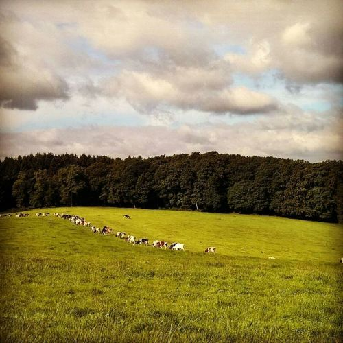 No People Outdoors Sky Cloud - Sky Cows Cows In A Field Moment Awakening Today ♥ Nature Freedom Spirituality Animal Spirits Shamanism