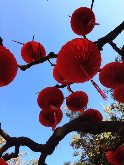Low Angle View Red Hanging Outdoors Sky Nature Day Clear Sky Growth Di tan miao huiwer] 地坛庙会flowNo PeoplepTreerBeauty In NatureuClose-up-Freshnessess