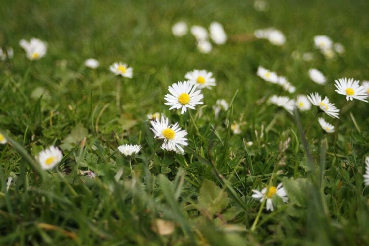 Cute little daisies Flower Flowering Plant Freshness Plant Fragility Vulnerability  Growth Daisy Nature Grass Close-up Field No People First Eyeem Photo