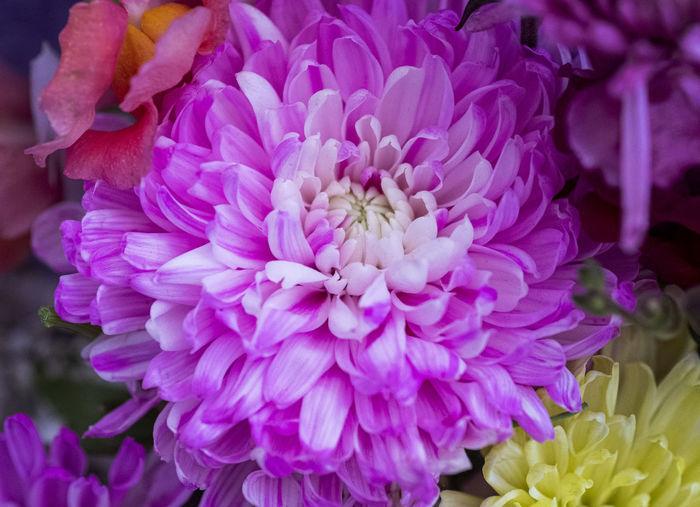 Close-up of fresh pink dahlia flower
