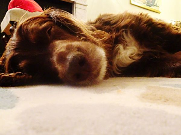Night Night, Sleep Tight Dog Spaniel Field Spaniel Brown Dog Sleeping Dog