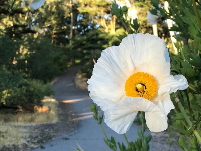 Romneya Coulteri Matilija Poppy Poppy Flowering Plant Flower Plant Beauty In Nature Fragility Vulnerability  Nature