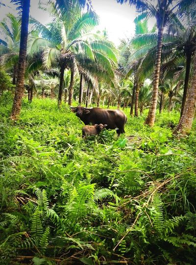 Water Buffalo In A Field Animal Themes One Animal Nature Day No People Tree Domestic Animals Growth Grass Mammal Outdoors Sky