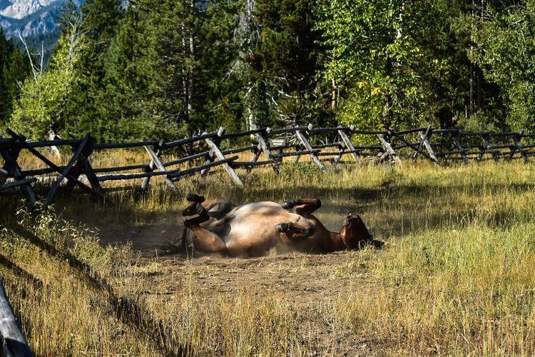 Mule scratching