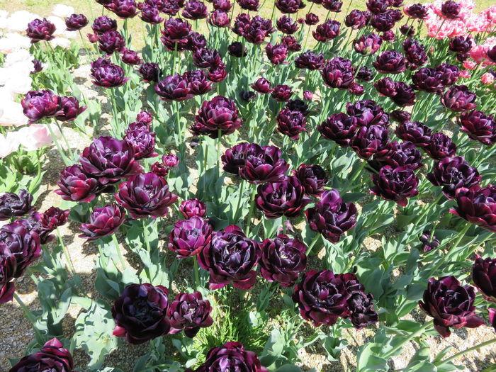チューリップ ムラサキ 植物