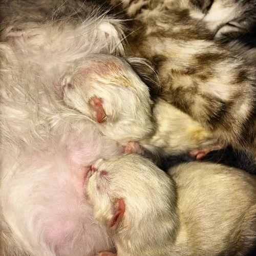 Cat Hi! Мои котятки мои кошки, питомник невских маскарадных невак на двине