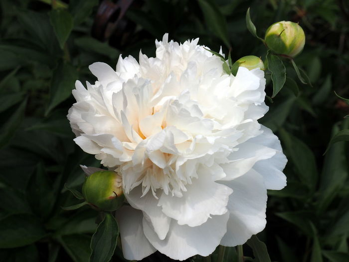 Beauty In Nature Close-up Day Flower Flower Head Flowering Plant Focus On Foreground Fragility Freshness Garden Growth Inflorescence Leaf Nature No People Outdoors Peony  Petal Plant Plant Part Vulnerability  White Color