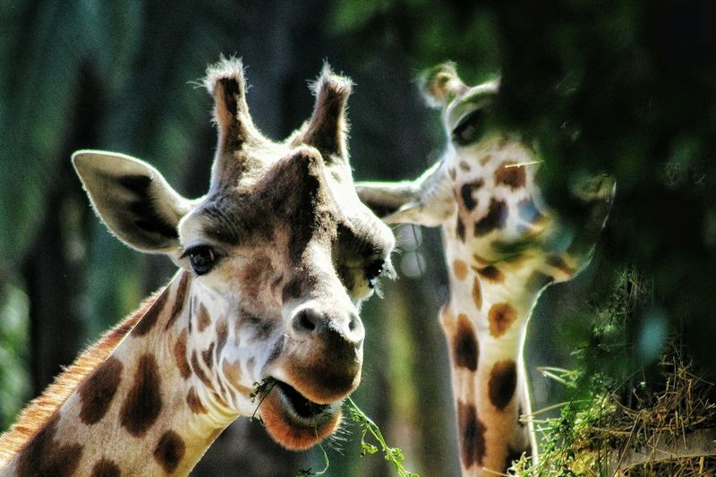 Giraffe Zoo Bioparco Animal Love EyeEm Best Shots Eyeem4photography EyeEmBestPics EyeEm Best Edits Portrait