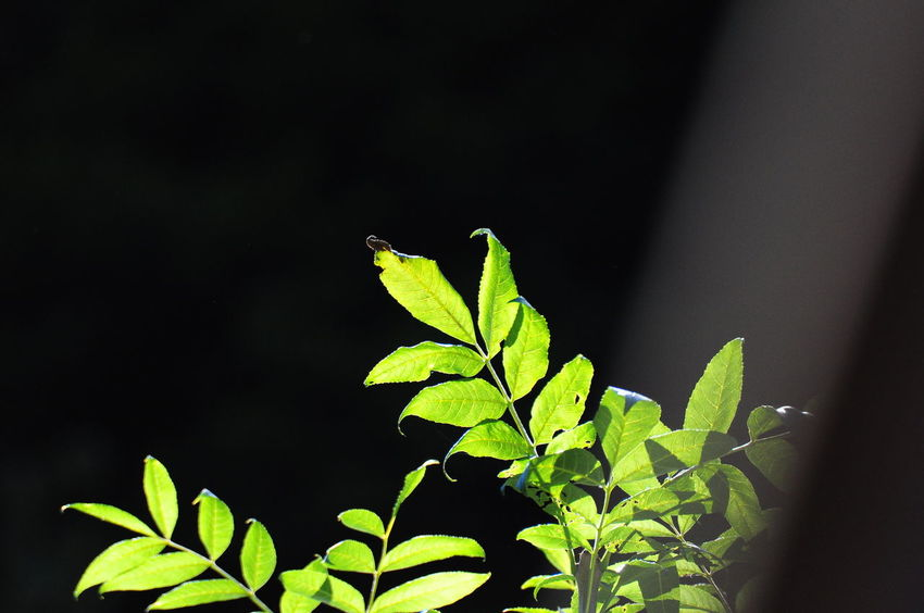 Beauty In Nature Botany Chrixxo Close-up Day Focus On Foreground Green Green Color Growing Growth Leaf Leaf Vein Leaves Nature No People Outdoors Plant Selective Focus Stem Tranquility Twig Sales Bestoftheday Check This Out Abstract